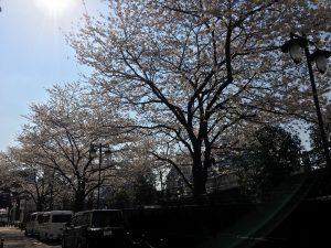 【池袋駅】春爛漫!桜を見に行こう!池袋東口の満開コースの池袋駅前公園1