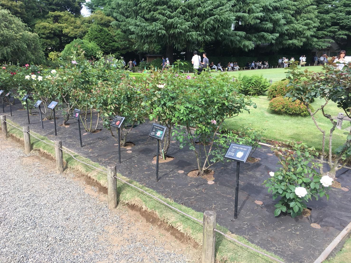 【上中里駅】バラが咲き誇る日英が混ざる庭園「旧古河庭園」のバラ園1