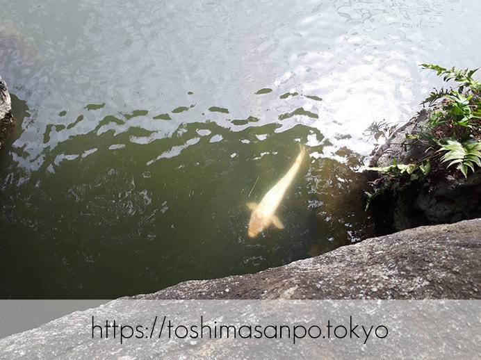 【駒込駅】和歌山市を模した江戸時代の庭園「六義園」で涼をとろうの六義園の渡月橋の下の鯉1