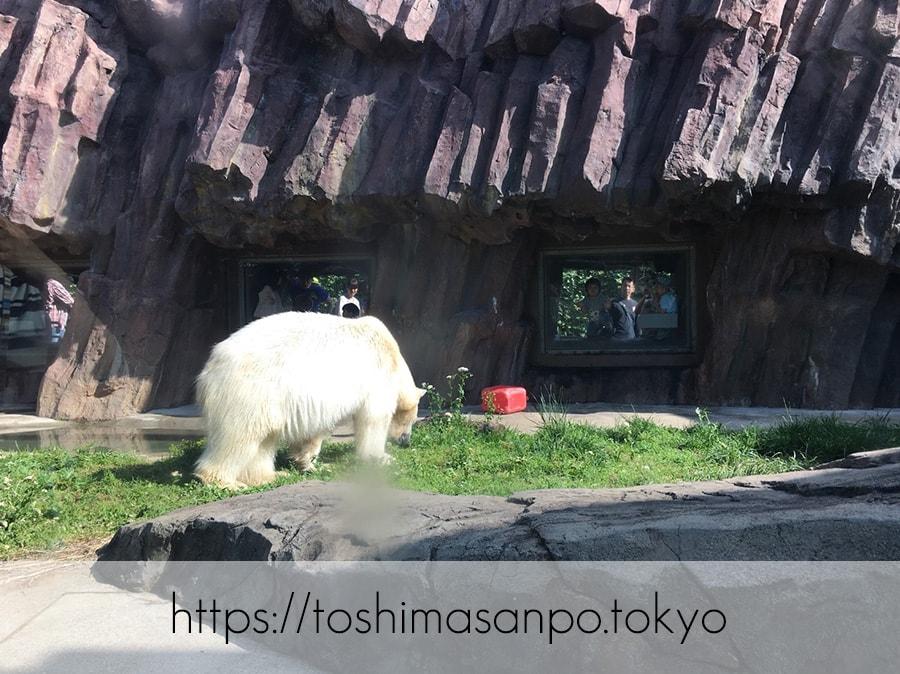 【上野駅】高速上野散歩を提案!大満足の絶品洋食「たいめいけん」のあとに上野動物園で超エンジョイの上野動物園のシロクマ1