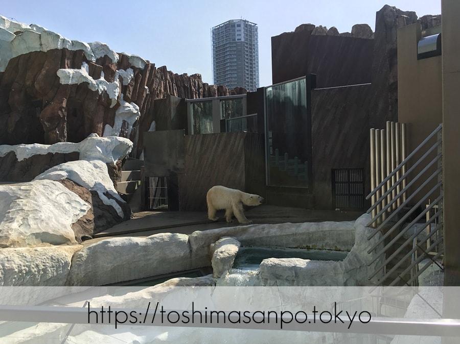 【上野駅】高速上野散歩を提案!大満足の絶品洋食「たいめいけん」のあとに上野動物園で超エンジョイの上野動物園のシロクマ2