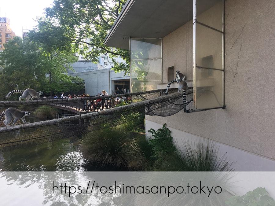 【上野駅】高速上野散歩を提案!大満足の絶品洋食「たいめいけん」のあとに上野動物園で超エンジョイの上野動物園のワオキツネザル1