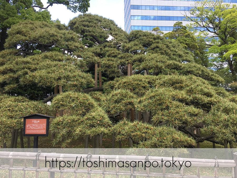 【汐留駅】水上バスにも乗れる!東京湾から繋がる江戸時代の広大な庭園「浜離宮恩賜庭園」の風情。の浜離宮恩賜庭園の三百年の松