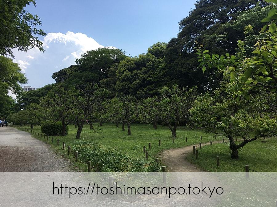 【汐留駅】水上バスにも乗れる!東京湾から繋がる江戸時代の広大な庭園「浜離宮恩賜庭園」の風情。の浜離宮恩賜庭園の梅林