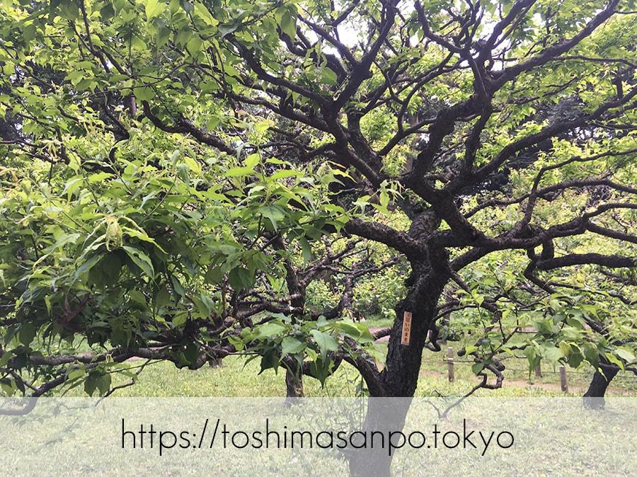 【汐留駅】水上バスにも乗れる!東京湾から繋がる江戸時代の広大な庭園「浜離宮恩賜庭園」の風情。の浜離宮恩賜庭園の梅林の思いのまま